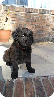 Labrador Retriever Mix Puppy for adoption in Camilla, Georgia - Cassanova