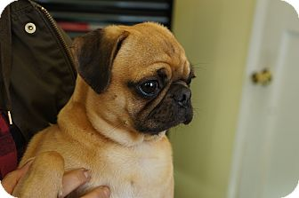 Pug Mix Puppy for adoption in Seattle, Washington - Otto