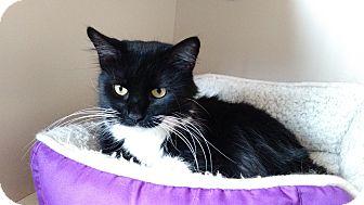 Domestic Mediumhair Cat for adoption in Chicago, Illinois - Bellatrix