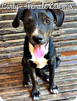Labrador Retriever Mix Puppy for adoption in Bonham, Texas - Curly