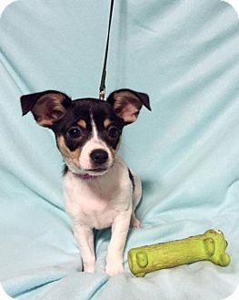 Chihuahua Mix Puppy for adoption in Hagerstown, Maryland - Baby Buttercup (RBF)