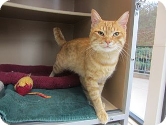 Domestic Shorthair Cat for adoption in Kingston, Washington - Squire