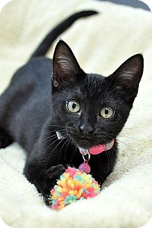 Domestic Shorthair Kitten for adoption in Fort Leavenworth, Kansas - Cinder-adoption pending