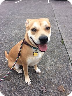 Australian Cattle Dog/Shiba Inu Mix Dog for adoption in Vancouver, Washington - Zelda