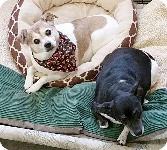 Rat Terrier Mix Dog for adoption in Urbana, Ohio - Cutie