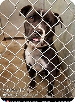 Terrier (Unknown Type, Medium)/Labrador Retriever Mix Dog for adoption in Zanesville, Ohio - Moonlite - ADOPTED!