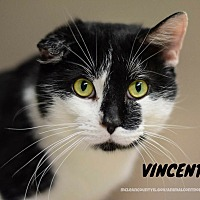 Adopt A Pet :: Vincent - Hanna City, IL