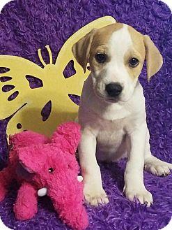 Labrador Retriever/Hound (Unknown Type) Mix Puppy for adoption in Newark, Delaware - Sissy