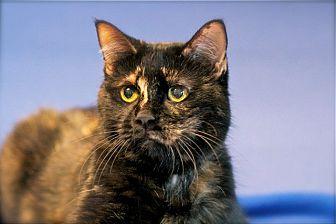 Domestic Shorthair Cat for adoption in Coronado, California - Gracie
