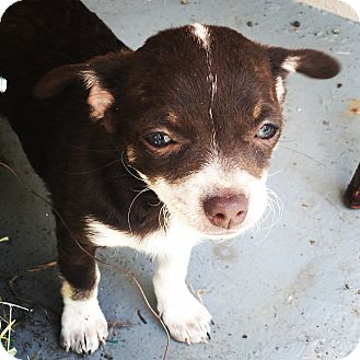 Terrier (Unknown Type, Small)/Chihuahua Mix Puppy for adoption in San Diego, California - Sorrel