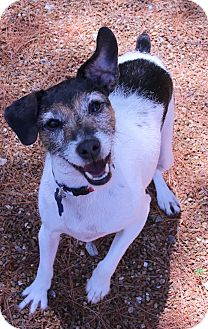 Jack Russell Terrier Mix Dog for adoption in O Fallon, Illinois - Yoda