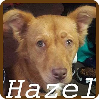 Golden Retriever/Labrador Retriever Mix Dog for adoption in Sterling Heights, Michigan - Hazel