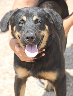 Shepherd (Unknown Type) Mix Puppy for adoption in Cranston, Rhode Island - Albany