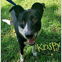 Adopt A Pet :: Krispy - Commerce, TX
