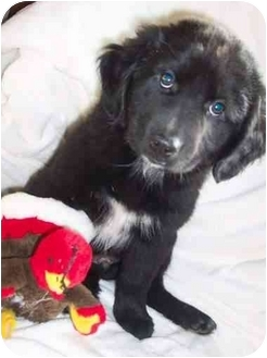 English Shepherd/Flat-Coated Retriever Mix Puppy for adoption in McArthur, Ohio - Keefer