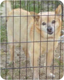 Pomeranian/Terrier (Unknown Type, Small) Mix Dog for adoption in Fowler, California - KIngston