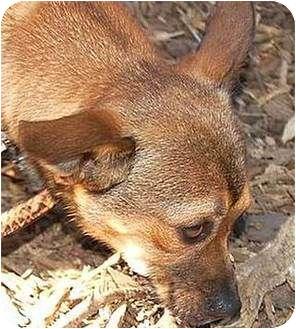 Chihuahua Mix Dog for adoption in Santa Barbara, California - Carlos