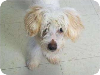 Chinese Crested Mix Puppy for adoption in Decatur, Illinois - Mr. Wu