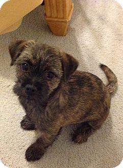 Boston Terrier/Yorkie, Yorkshire Terrier Mix Puppy for adoption in Westport, Connecticut - Curly Sue