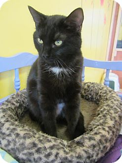 Domestic Mediumhair Cat for adoption in Mobile, Alabama - Snicket