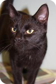 Bombay Cat for adoption in Columbus, Georgia - Diva 3246