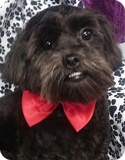 Shih Tzu/Poodle (Miniature) Mix Puppy for adoption in Urbana, Ohio - Jasper
