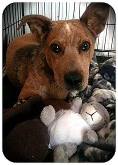 Australian Cattle Dog Mix Puppy for adoption in Alamogordo, New Mexico - Stevie (UPDATE)