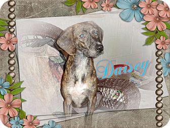 Plott Hound Mix Dog for adoption in Tampa, Florida - Daisey