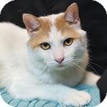Domestic Shorthair Cat for adoption in Wheaton, Illinois - Peanut
