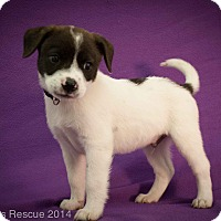 Adopt A Pet :: Kenickie - Broomfield, CO