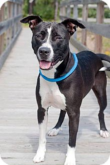 Pit Bull Terrier Mix Dog for adoption in Manahawkin, New Jersey - Lucy