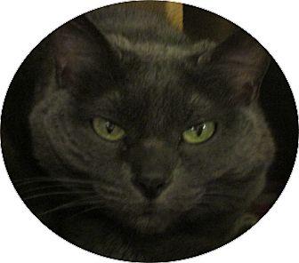 Russian Blue Cat for adoption in Pueblo West, Colorado - Kiera