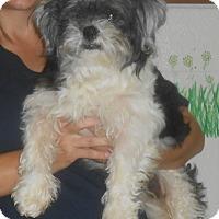 Adopt A Pet :: Little Man - Lockhart, TX