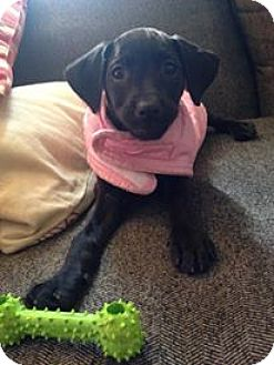 Labrador Retriever Mix Puppy for adoption in WESTMINSTER, Maryland - Kit Kat