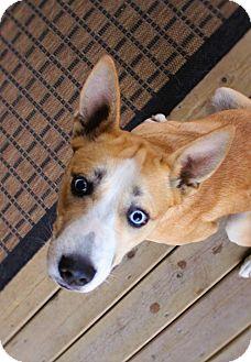 Basenji/Husky Mix Dog for adoption in Lisbon, Iowa - Prada