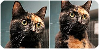 Domestic Shorthair Cat for adoption in Forked River, New Jersey - Pixie