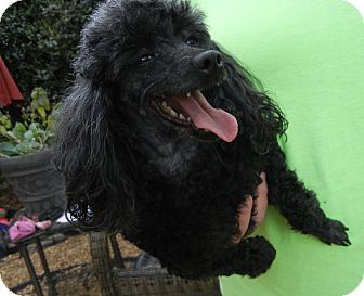 Poodle (Toy or Tea Cup) Mix Dog for adoption in Houston, Texas - Adele