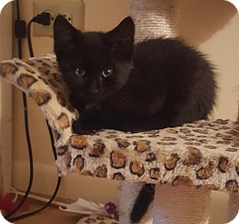 Domestic Shorthair Kitten for adoption in Lombard, Illinois - Tamerind