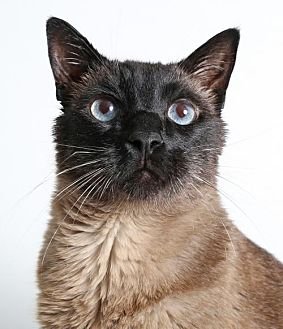 Siamese Cat for adoption in Roseville, California - Yoda