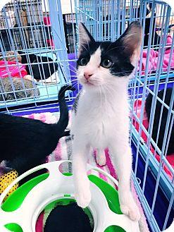 Domestic Mediumhair Kitten for adoption in Mansfield, Texas - Kenna