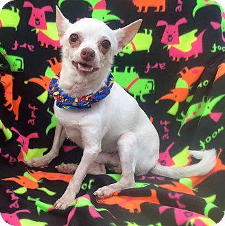 Chihuahua Dog for adoption in Cleveland, Ohio - Sam Spokes