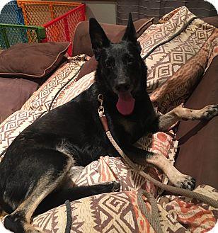 German Shepherd Dog Dog for adoption in Carlsbad, California - Coco Chanel