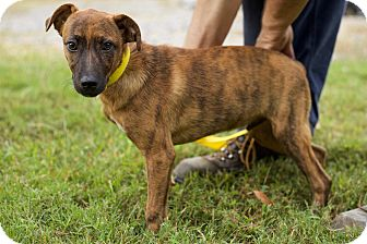 Black Mouth Cur Mix Puppy for adoption in Hagerstown, Maryland - Jake