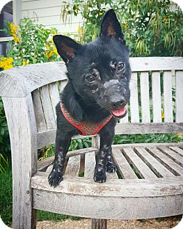 Schipperke/Chihuahua Mix Dog for adoption in Fredericksburg, Texas - Freddy