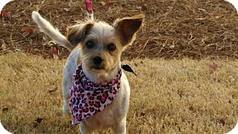 Cairn Terrier/Jack Russell Terrier Mix Dog for adoption in Allentown, Pennsylvania - Cindy Lou