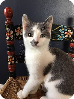 Domestic Shorthair Cat for adoption in Portland, Maine - Dash