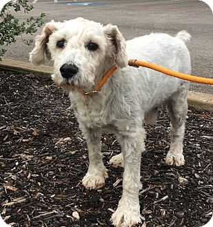 Miniature Schnauzer Mix Dog for adoption in Redmond, Washington - Mr. Poppy