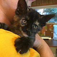 Adopt A Pet :: McGonagall-adoption pending - Hanna City, IL