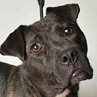 Adopt A Pet :: SHILOH - Ukiah, CA