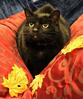 Domestic Shorthair/Domestic Shorthair Mix Cat for adoption in West Des Moines, Iowa - Ozzy